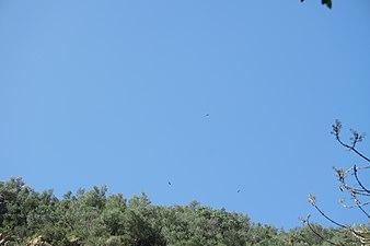 Buitres sobrevolando el Parque Natural Sierra de Hornachuelos.JPG