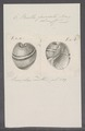 Bulla fasciata - - Print - Iconographia Zoologica - Special Collections University of Amsterdam - UBAINV0274 091 07 0013.tif