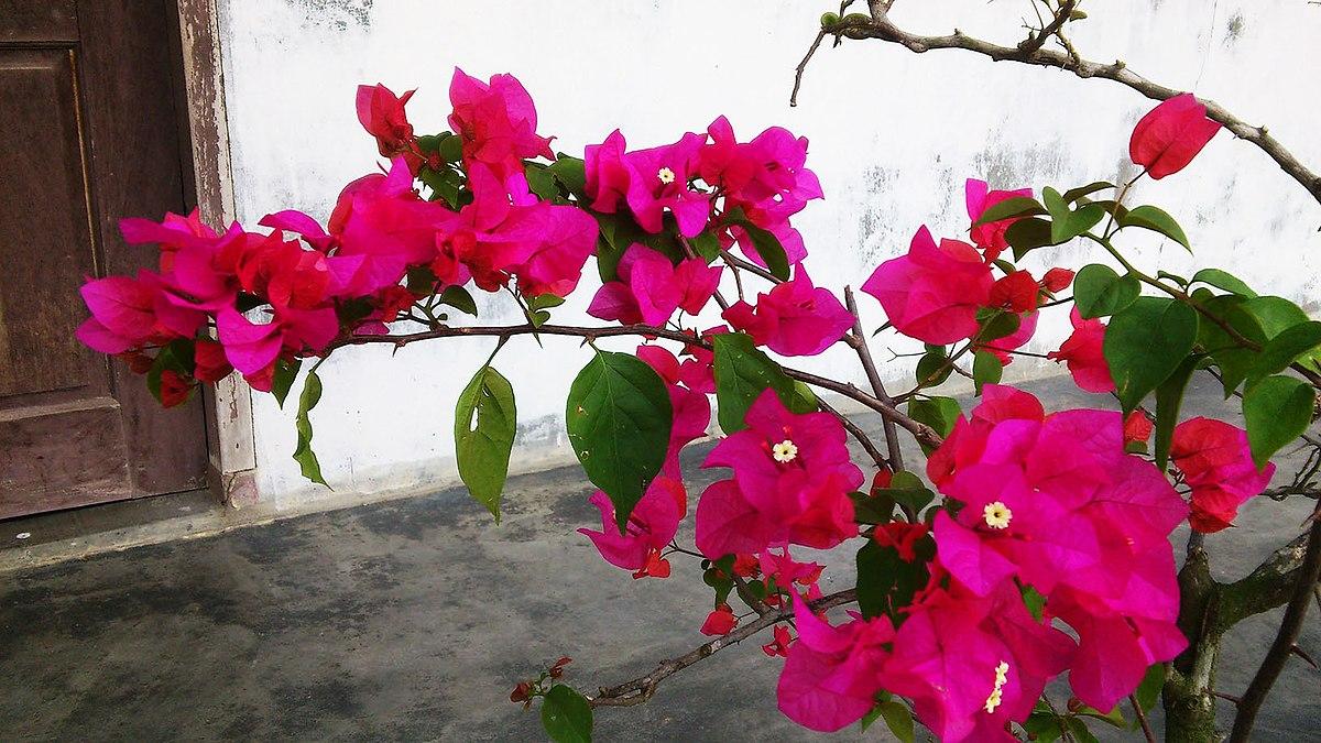 File Bunga Kertas 15 Jpg Wikimedia Commons