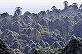 Bunya (Araucaria bidwillii) in habitat, Bunya Mountains NP, Queensland 2.jpg