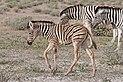 Burchell's zebra (Equus quagga burchellii) juvenile Namibia.jpg