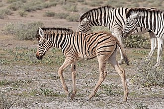 Plains zebra - Foal displaying brown and white pattern