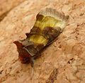 Burnished Brass. Diachrysia chrysitis - Flickr - gailhampshire (6).jpg