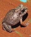 Burrowing Frog Sphaerotheca breviceps juvenile by Dr. Raju Kasambe DSCN7540 (3).jpg