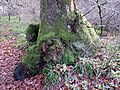 Burrs and moss sock on oak at River Nith near Eliock Bridge, Mennock, Dumfries & Galloway.jpg