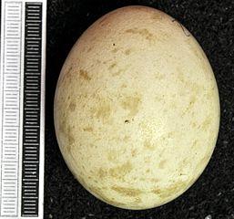 Myšiak lesný - vajíčko