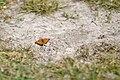 Butterfly (183934973).jpeg