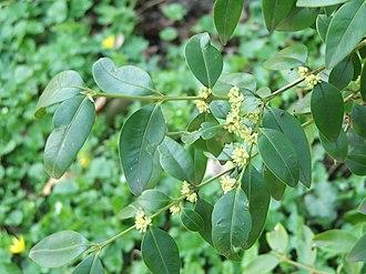 Buxus - Buxus henryi foliage