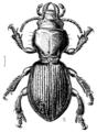 COLE Carabidae Brullea antarctica 1.png