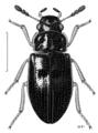 COLE Hydrophilidae Horelophus walkeri.png