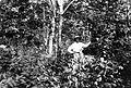 COLLECTIE TROPENMUSEUM Een planter temidden van een 16-jaar oude rubbertuin van de gouvernementsonderneming Serpong bij Batavia TMnr 10012726.jpg