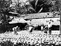 COLLECTIE TROPENMUSEUM Het drogen van de geplukte rijst door Javaanse mannen buiten in de zon TMnr 60022073.jpg