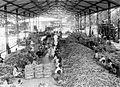 COLLECTIE TROPENMUSEUM Planten van twee extra bibits in de geulen om te soelammen Suikeronderneming Karangsoewoang TMnr 10011646.jpg