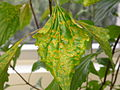 CSIRO ScienceImage 2201 Crofton weed leaf affected by Crofton rust fungus.jpg
