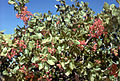 CSIRO ScienceImage 2314 Pistachios on a Tree.jpg