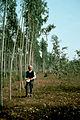CSIRO ScienceImage 530 Eucalyptus Camaldulensis Plantation.jpg