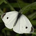 Cabbage White (Pieris rapae) - Kitchener, Ontario.jpg