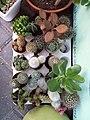 Cactus (2) in Neve Tzedek.jpg