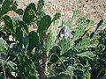 Cactus in Latikoili.jpg