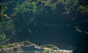 Darwin's bark spider - Several webs of C. darwini spanning a river, demonstrating their extreme length