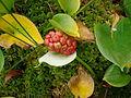 Calla palustris Poland.JPG