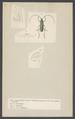 Callichroma - Print - Iconographia Zoologica - Special Collections University of Amsterdam - UBAINV0274 001 10 0024.tif