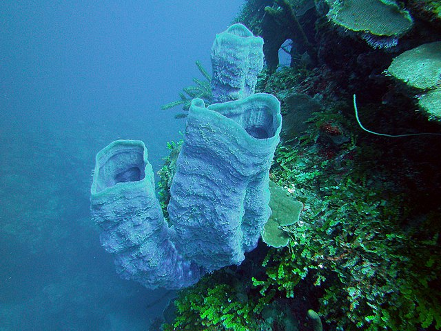 Filecallyspongia Plicifera Azure Vase Sponge Bay Of Pigs Cuba