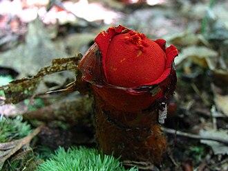 Calostoma cinnabarinum - Image: Calostoma cinnabarina 3