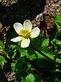 Caltha palustris alba 04.JPG