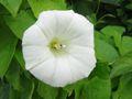 Calystegia sepium ssp sepium bluete.jpeg