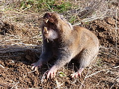Camas pocket gopher (2).JPG