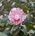 Camellia japonica, Jardín Botánico de Múnich, Alemania, 2013-01-27, DD 03.JPG