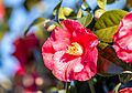 Camellia plant.jpg
