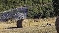 Camp amb paques i rostoll a la vora del riu Isàvena.jpg