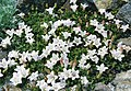 Campanula calaminthifolia.jpg
