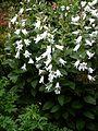 Campanula latifolia alba - Flickr - peganum (5).jpg