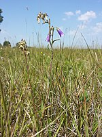 Campanula sibirica (subsp. sibirica) sl6.jpg