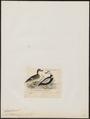 Camptolaimus labradorius - 1820-1863 - Print - Iconographia Zoologica - Special Collections University of Amsterdam - UBA01 IZ17700093.tif