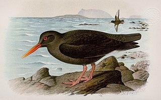 Canary Islands oystercatcher Species of bird