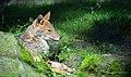 Canis aureus Burgers Zoo 1.jpg