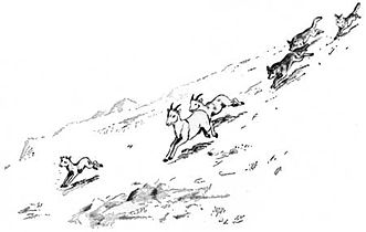 Canis lupus pack hunting (illustration).jpg