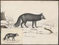 Canis virginianus - 1818-1842 - Print - Iconographia Zoologica - Special Collections University of Amsterdam - UBA01 IZ22200265.tif