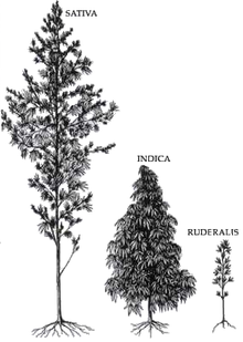 black and white drawing: C. sativa tall, C. indica middle, C. ruderalis small