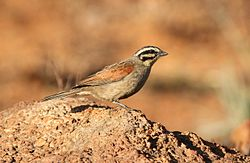 Cape Bunting, Emberiza capensis at Suikerbosrand Nature Reserve, Gauteng, South Africa (15041070200).jpg