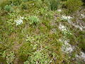 Cape Strandveld - South African beach vegetation 2.JPG