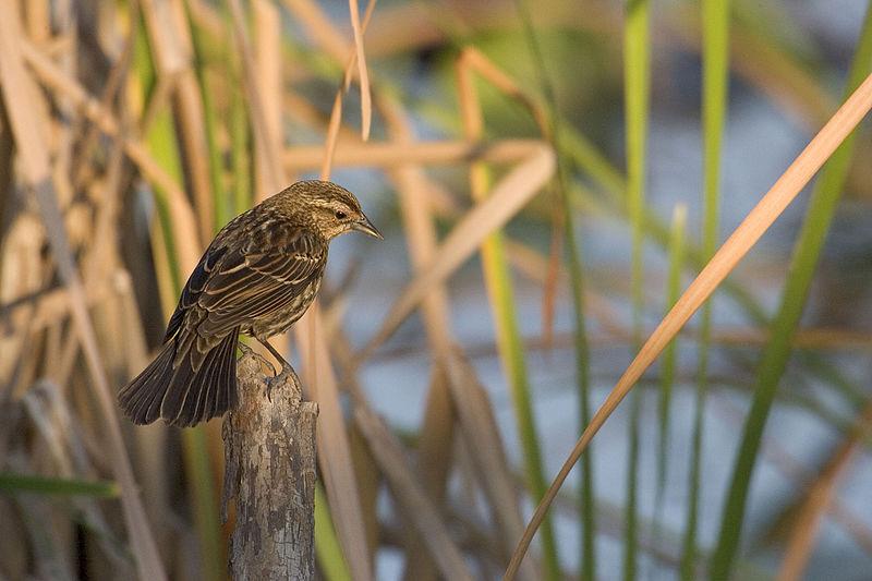 File:Cape sable sea side sparrow, NPSPhoto (9099305573).jpg