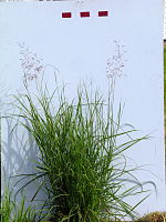 Capillipedium spicigerum plant5 (7758367090).jpg