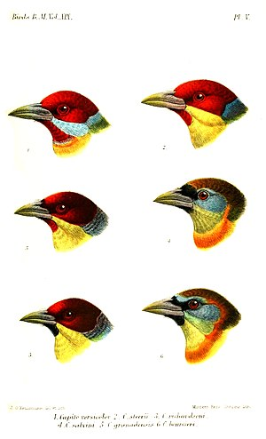New World barbet - Head patterns, illustration by Keulemans, 1891
