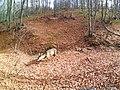 Capreolus capreolus-roe deer-Bulgaria-female-2.jpg