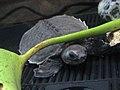 Carettochelys insculpta.jpg